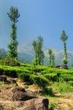 De aanplanting van de thee in Wayanad Stock Foto