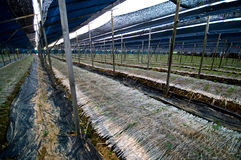 De aanplanting van ginsengen stock afbeeldingen