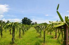 De aanplanting van het draakfruit, Chi Phat, Kambodja Stock Fotografie