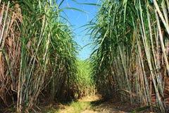 De aanplanting van het suikerriet Stock Foto's