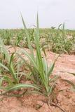 De aanplanting van het suikerriet Royalty-vrije Stock Afbeeldingen