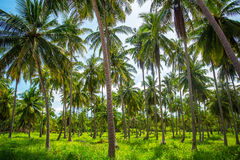 De aanplanting van kokosnotenpalmen Stock Afbeeldingen