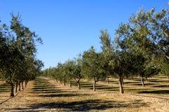 De aanplanting van olijfbomen in Spanje Stock Foto's