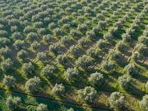 De aanplanting van olijven Royalty-vrije Stock Afbeeldingen