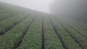 De Aanplanting van de Oolongthee op Alishan-Bergengebied, Taiwan Lucht Mening stock video