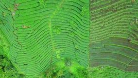 De Aanplanting van de Oolongthee op Alishan-Bergengebied, Taiwan Lucht Mening stock videobeelden