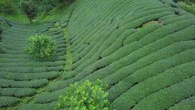 De Aanplanting van de Oolongthee op Alishan-Gebied, Taiwan Lucht Mening stock video
