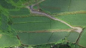 De Aanplanting van de Oolongthee op Alishan-Gebied, Taiwan Lucht Mening stock footage