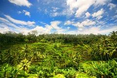 De aanplanting van de rijst in de bewolkte middag royalty-vrije stock afbeelding