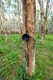 De aanplanting van rubberbomen Royalty-vrije Stock Afbeeldingen