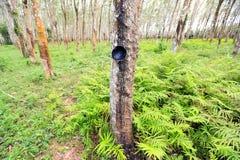 De aanplanting van rubberbomen Stock Foto's