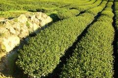 De aanplanting van thee bij landbouwbedrijf stock fotografie