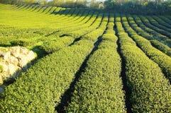 De aanplanting van thee bij landbouwbedrijf royalty-vrije stock afbeelding