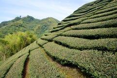 De aanplanting van thee bij landbouwbedrijf royalty-vrije stock afbeeldingen