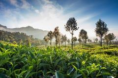 De aanplanting van de thee in Sri Lanka stock afbeeldingen