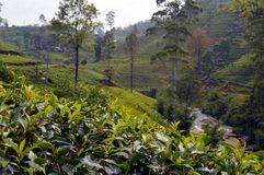 De aanplanting van de thee in Sri Lanka royalty-vrije stock foto