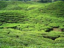 De Aanplantingen van de thee. Stock Foto