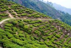 De aanplantingen van de thee Stock Afbeelding