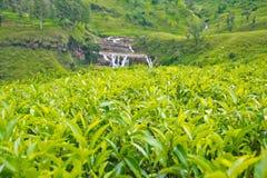 De aanplantingen van de thee in Sri Lanka Stock Foto's