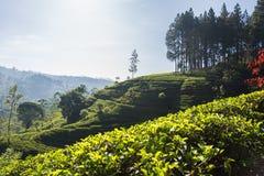 De aanplantingen van de thee in Sri Lanka stock foto