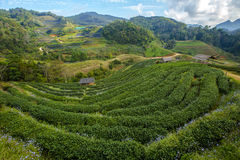 De aanplantingslandschap van de thee Stock Afbeeldingen