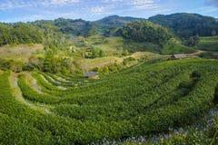 De aanplantingslandschap van de thee Royalty-vrije Stock Afbeeldingen