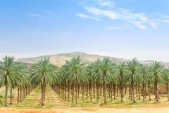 De aanplantingsoase van de dadelpalmboomgaard in Midden-Oostenwoestijn Royalty-vrije Stock Foto's