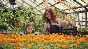De aantrekkelijke vrouwelijke bloemist en haar leuke dochter zetten potten met mooie bloemen binnen plastic container en stock video