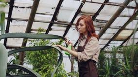 De aantrekkelijke vrouwentuinman in schort wast bladeren van grote altijdgroene installatie met spuitbus binnen serre beroep stock video