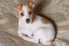 De Aantrekkingskracht van het puppy Royalty-vrije Stock Afbeelding