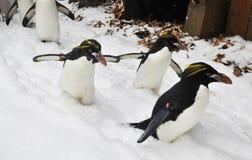 De Aanval van de Pinguïn van de macaroni! Stock Foto