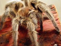 De Aanval van de spin Stock Afbeeldingen