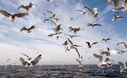 De aanval van de zeemeeuw! Stock Foto
