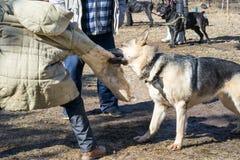 De aanvallen van de herdershond stock fotografie