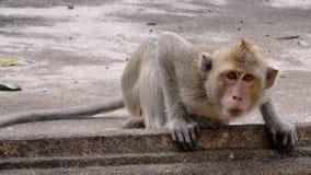 De aap bekijkt direct de lens, met duidelijke belangstelling royalty-vrije stock fotografie