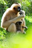 De aap & de baby van Gibbon Stock Foto