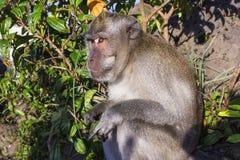 De aap in de wildernis, vulkaan Batur Het Eiland van Bali, Indonesië 2000 meters boven overzees - niveau Royalty-vrije Stock Afbeelding