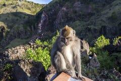 De aap in de wildernis, vulkaan Batur Het Eiland van Bali, Indonesië 2000 meters boven overzees - niveau Stock Foto's