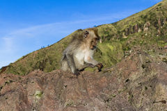 De aap in de wildernis, vulkaan Batur Het Eiland van Bali, Indonesië 2000 meters boven overzees - niveau Royalty-vrije Stock Foto