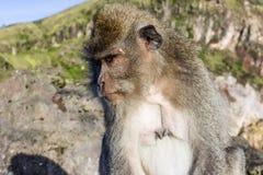 De aap in de wildernis, vulkaan Batur Het Eiland van Bali, Indonesië 2000 meters boven overzees - niveau Stock Afbeelding