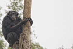 De aap die van de aapchimpansee u bekijken Royalty-vrije Stock Afbeelding