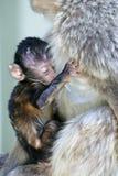 De aap die van de baby zich aan zijn moeder vastklampt royalty-vrije stock foto