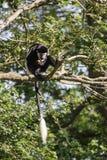 De aap die van DE Brazza in treetops neglectus van Cercopithectus eten Royalty-vrije Stock Afbeeldingen