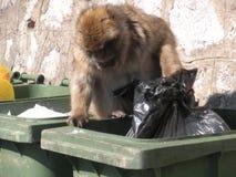 De aap die van Gibraltar in het huisvuil zoeken Royalty-vrije Stock Afbeeldingen