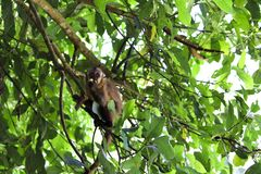 De aap die van Sapajusapella appel eten royalty-vrije stock afbeelding