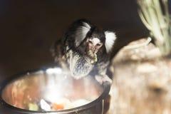 De aap eet Royalty-vrije Stock Foto