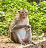 De aap eet Stock Afbeelding