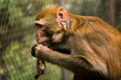 De aap eet banaan Stock Afbeeldingen