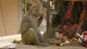 De aap eet banaan in de stad dichtbij godsdienstige tempel Katmandu, Nepal stock videobeelden