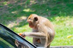 De aap eet de tomaten stock afbeelding